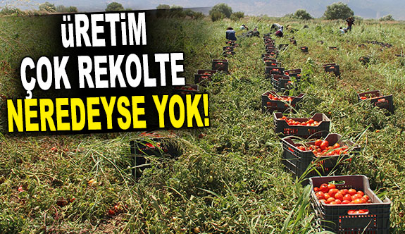 DOMATESTE ÜRETİM ÇOK REKOLTE NEREDEYSE YOK!